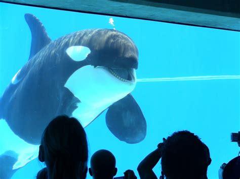 Hiasan Aquarium Orca Seal bring orcas to ushaka marine world petitions24