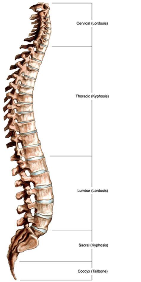 lumbar spine diagram labeled labeled vertebral column quotes
