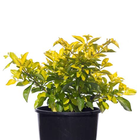 Marvelous Small Christmas Tree In Pot #6: Duranta-sheenas-Gold-17cm-170mm.jpg