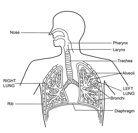 labeling diagram respiratory system not labeled human anatomy system