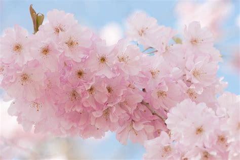 prunus accolade flowering cherry ornamental cherry