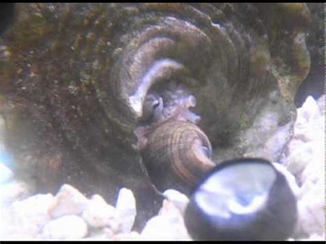 pet baby octopus growing  youtube