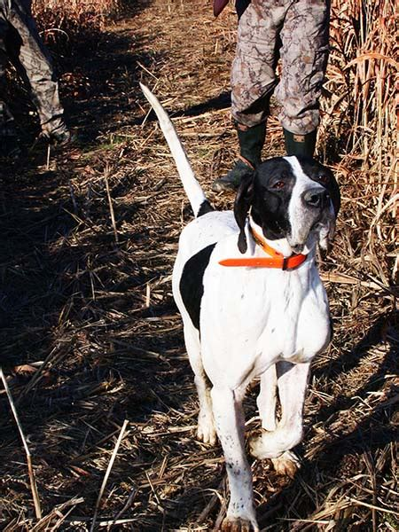 what should sportsman always consider when hunting from a boat how to buy a bird dog to hunt quail