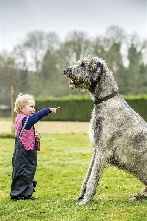 irish wolfhound   archetypal gentle giant