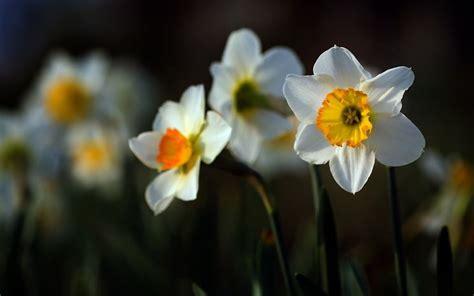 fiori narciso narciso narcissus narcissus bulbi narciso