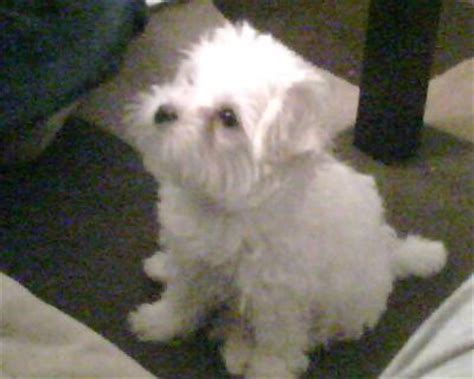 maltese poodle yorkie rescue maltese sales different types of maltese yorkie poodle mix puppies
