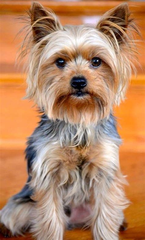 haircuts for yorkshire terriers with silky hair 1319 best yorkie love images on pinterest