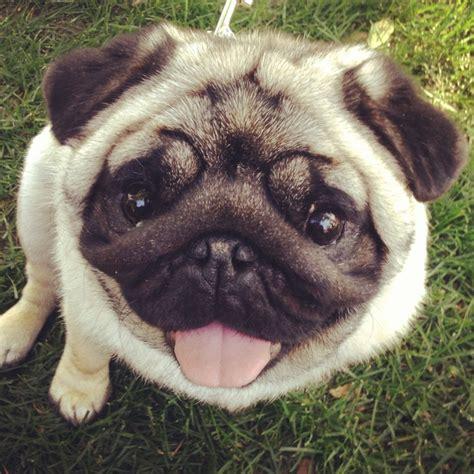 pug a lug rescue 220 ber 1 000 ideen zu boston terrier mops auf boston terrier und