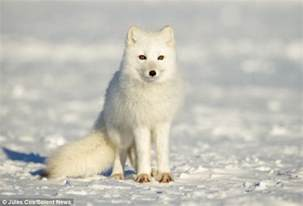Baby Photographers Adorable Arctic Fox Curls Up To Protect Himself From Bitterly Cold Blizzard But He Soon Gets