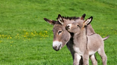 donkey wallpapers backgrounds