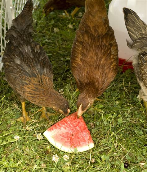 what do backyard chickens eat watermelon what treats do your chickens love