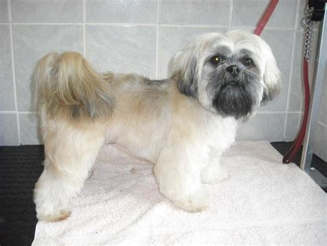 lhasa apso puppy cut lhasa apso puppy cut lhasa apso puppys lhasa and style