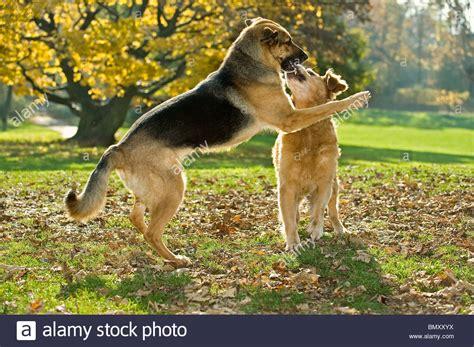 german shepherd golden retriever puppies german shepherd golden retriever stock photo royalty free image 30095406