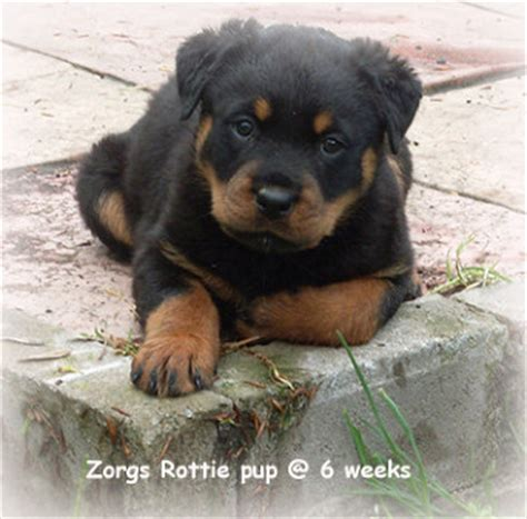 rottweiler puppies scotland zorgs rottweilers breeders and exhibitors of rottweilers and terrier
