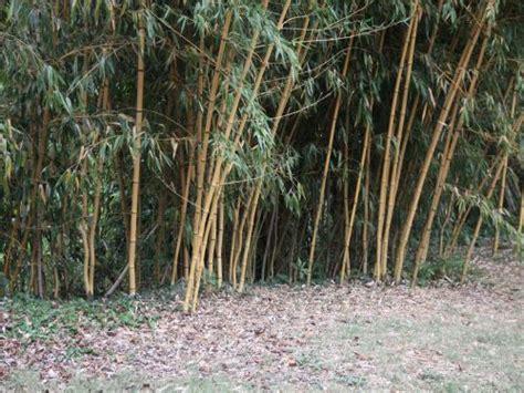 Fargesia Robusta Cbell Kaufen 33 by Bambus Pflanzenshop Bambus Des Jahres 2004 2016 Kaufen