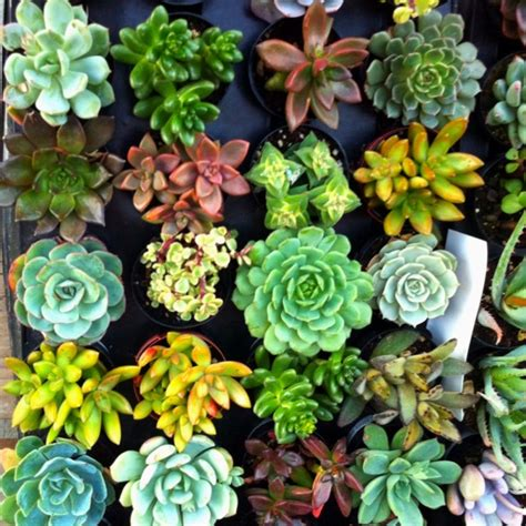 succulents found at home depot for the home