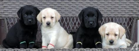 black lab puppies for sale in ohio akc yellow and black lab puppies for sale in jamestown ohio classified