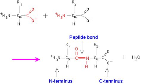 diagram of peptide bond how does the structure of proteins differ from the