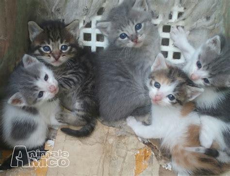 regalo cuccioli pavia regalo cucciolo europeo da privato a roma gatti europeo
