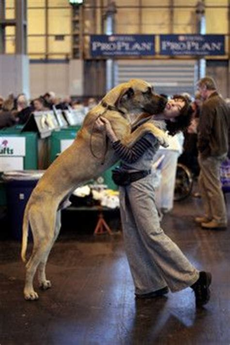 best big dogs for apartments 1000 ideas about bull mastiffs on mastiff mix breeds
