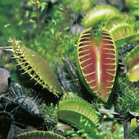 Fly Trap L by Venus Fly Trap For Sale Uk Images