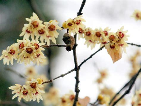 fiori profumati invernali fiori invernali profumati i 3 nel giardino di gennaio
