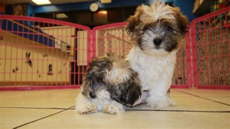 havanese puppies for sale in ga playful havanese puppies for sale in at puppies for sale local breeders