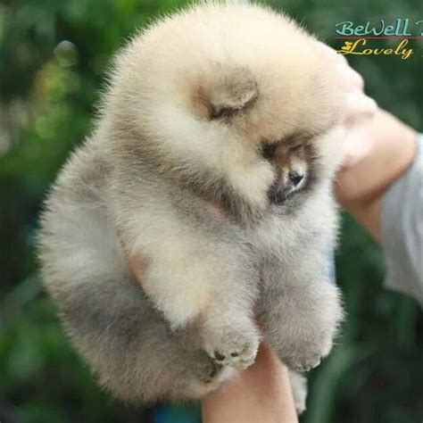pomeranian puppies hypoallergenic best 25 pomeranian pups ideas only on baby pomeranian teacup pomeranian