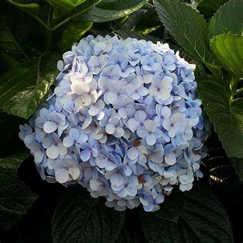 Tanaman Blue Mophead Hydrangea dapatkan bunga hydrangea dengan harga terbaik hanya di allesscia