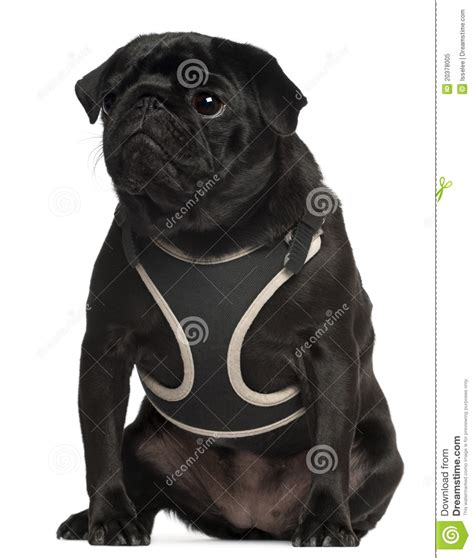 pug vest pug wearing vest 1 year sitting royalty free stock photo image 20378005