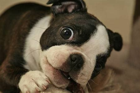 how much are boston terrier puppies 14 reasons boston terriers are the worst indoor breeds of all time