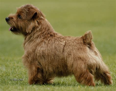 Pets Barn Norfolk Terrier Dogs Breeds Pets