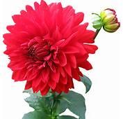 Dahlia Flower PNG Image  PngPix