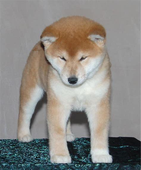 shiba inu puppies colorado japanese shiba inu puppies market rasen lincolnshire pets4homes