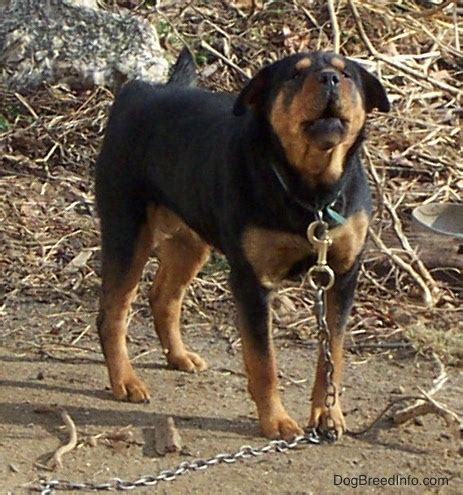 chow chow rottweiler mix puppies rottie chow mix breed information and pictures