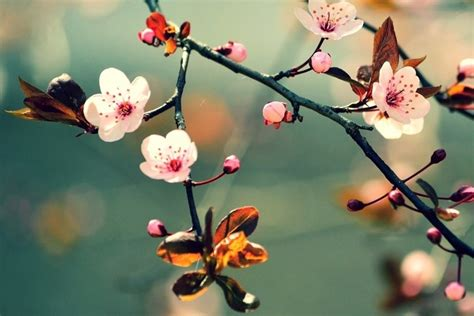 cherry blossom facts japan s cherry blossom 15 facts about sakura insider