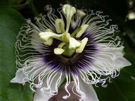 passiflora in vaso passiflora edulis in vaso passiflora edulis pianta