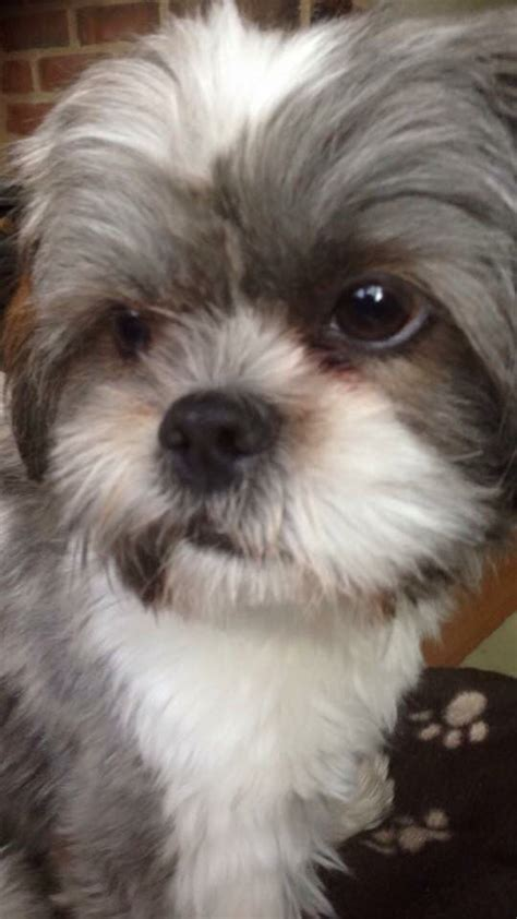 shih tzu shoes 132 best images about shih tzu on grumpy search and pets