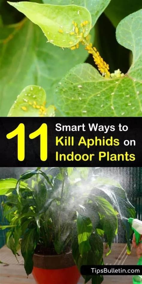 smart ways  kill aphids  indoor plants