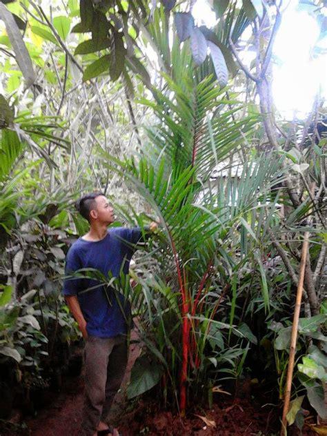 jual pohon palem merah suplier tanaman hias jasa