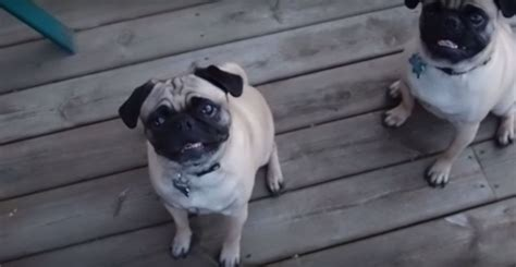pug won t eat you won t believe what these two pugs are so excited to eat page 2 of 2
