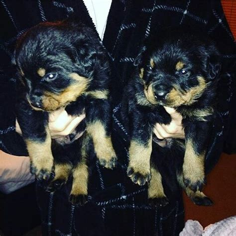 rottweiler puppies for sale in bc beautiful chunky rottweiler puppies for sale nottingham nottinghamshire pets4homes