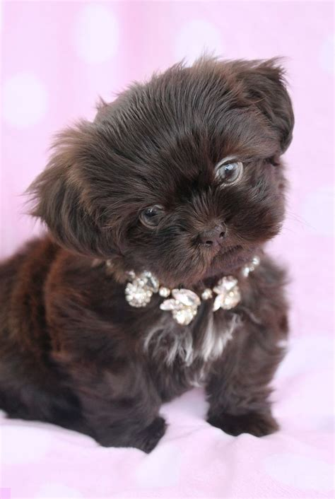 tea cup shih tzu puppies best 25 shih tzu for sale ideas on puppies for sale teacup dogs for