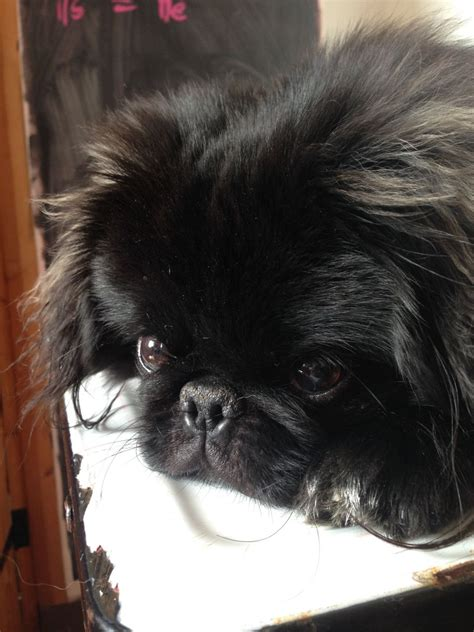 pug rescue sussex pekingese cross breeds picture