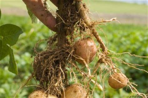 wann sind kartoffeln gar erntezeit f 252 r kartoffeln 187 wann kann sie ernten