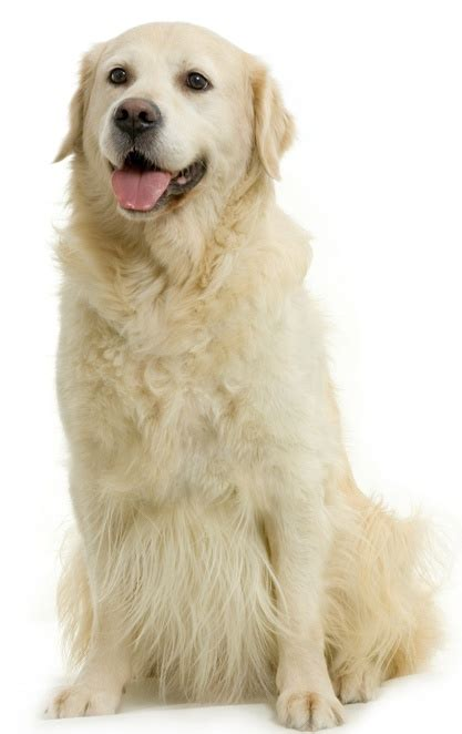 how big golden retrievers get 17 best images about golden retriever on kinds of dogs chang e 3 and the