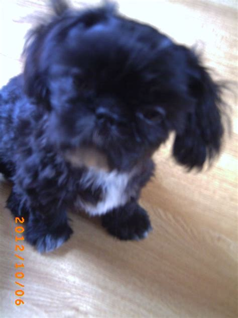 shih tzu puppies for sale in colorado springs husky puppies in adoption colorado springs co pomsky puppies gallery breeds picture