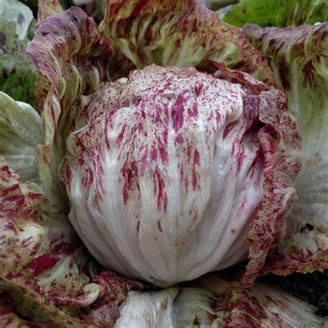 radicchio variegata  chioggia organic adaptive seeds