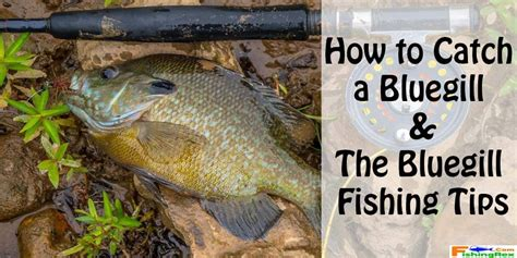 where when and how to catch fish on the east coast of florida classic reprint books how to catch a bluegill the bluegill fishing tips