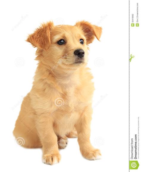 breeds mixed with golden retriever golden retriever mixed breed puppy stock photography image 33418992